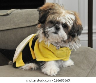 Adorable Shih Tzu puppy with a Yellow and Black Vest