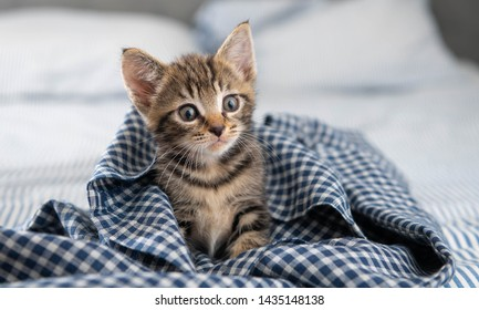 Adorable Short Haired Tiny Kitten Relaxing in Gingham Blanket