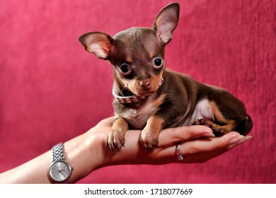 Adorable short-haired brown and tan Russkiy toy (Russian toy terrier) puppyon hand on a red background.