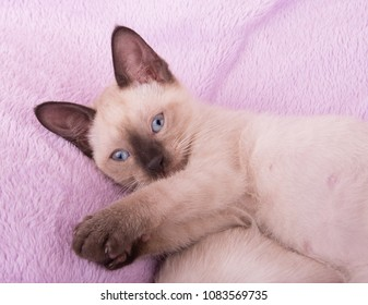 Adorable Siamese kitten lying on a purple blanket, looking up