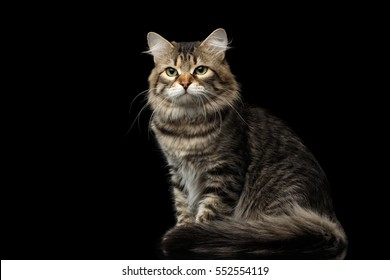 Adorable Siberian Cat Sits with furry tail on isolated black background, front view