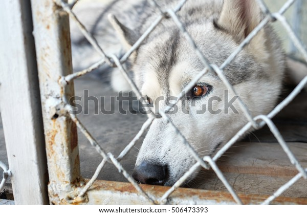 Adorable Siberian Husky dog in cage, sad dog behind cage, Lost pet animal cruelty and neglect concept with a sad dog in a dog pound prison cage, concept for humane treatment of living things.