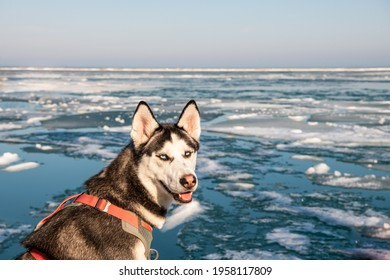 Adorable Siberian Husky dog posing in front of an icy lake in winter.