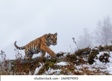 adorable siberian tiger cub walking in snow covered landscape