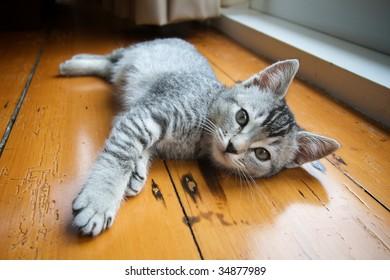 Adorable silver tabby kitten against a wooden floor