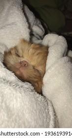 Adorable sleep of a shihtzu baby