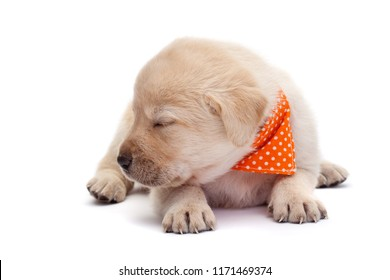 Adorable sleepy labrador puppy dog barely holding its head above the paws - lying on white with closed eyes
