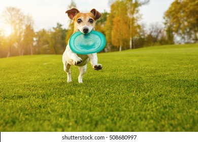 Adorable small dog Jack Russell terrier playing with blue rubber toy disk. Happy pet games