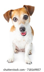 adorable small dog Jack Russell terrier portrait looking to you attentively with curiosity. Sitting on white background.