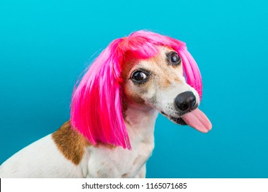Adorable small dog in pink wig on blue backgrond. Tongen licking.