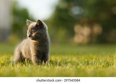 Adorable small kitten on the walk during sunset. British blue cat.