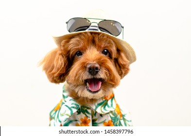 An adorable smiling brown toy Poodle dog wears hat with sunglasses on top and Hawaii dress for summer season on white background.