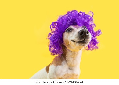 Adorable smiling dog portrait in curly violet wig. Yellow bright background. Positive emotions.