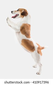 Adorable smiling dog stands on hind legs ( paws ). Pushing, holding, demonstrating your product offers. Advertising pet products. Empty space template for goods information.  Gray ( grey ) background