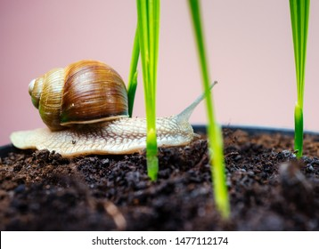 Adorable snail close up. Little slime with shell or snail in plant pot. Healing mucus. Cosmetics and snail mucus. Cosmetology beauty procedure. Cute snail near green plant. Natural remedies.