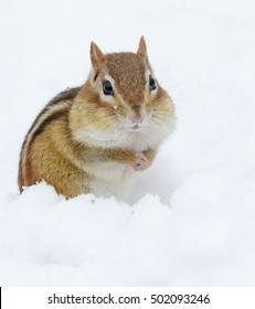 Adorable snowy chipmunk