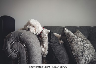 an adorable and soft white poodle maltese or maltipoo laying comfortably on a couch with decorative pillows while enjoying the sun light