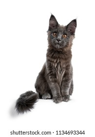 Adorable solid blue Maine Coon cat kitten sitting up elegant with tail hanging over edge and looking straight beside camera, isolated on white background