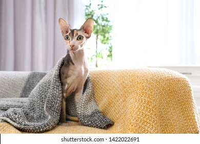 Adorable Sphynx cat under blanket on sofa at home, space for text. Cute friendly pet