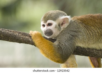 An adorable squirrel monkey lounges on a tree branch.