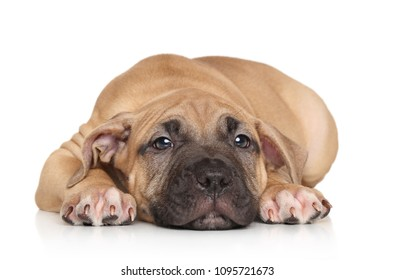 Adorable Staffordshire Terrier puppy resting on white background. Animal themes