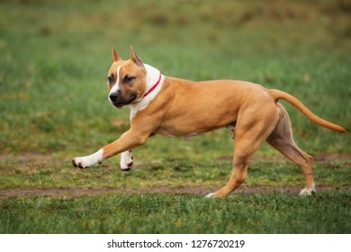 adorable staffordshire terrier puppy running outdoors