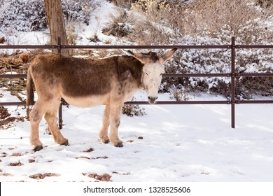 Adorable sturdy cream and brown donkey standing in snow staring during a sunny winter day, Kanab, Utah, USA