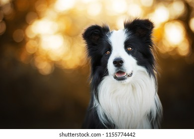 adorable sunset portrait of amazing healthy and happy young black and white border collie