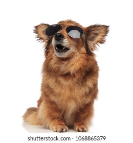 adorable surprised brown dog with sunglasses looks up to side while sitting on white background