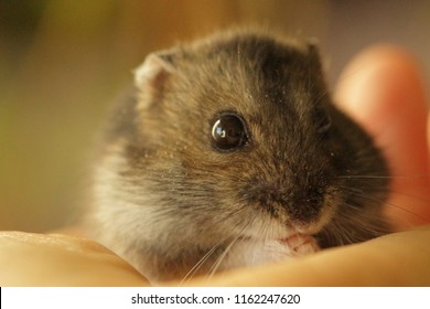 adorable Syrian hamster