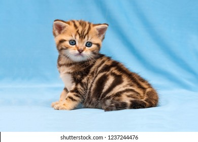 Adorable tabby kitten sitting on a blue background, a small striped British kitten Golden marble color sitting in front of the camera.
