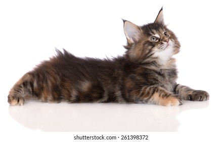 adorable tabby maine coon kitten lying down