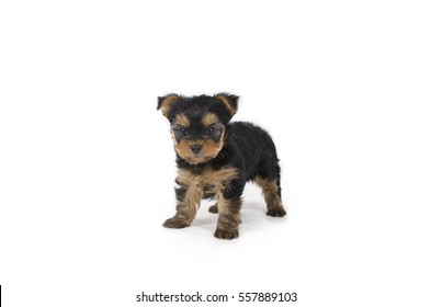 Adorable teacup Yorkshire terrier puppy