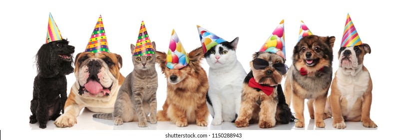 adorable team of birthday pets of different breeds standing, sitting and lying on white background while wearing colorful hats