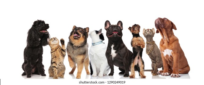 adorable team of mixed pets of different breeds are curious and look up while standing and sitting on white background
