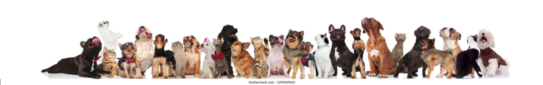 adorable team of mixed pets look up while standing and sitting on white background, wearing bowties and collars