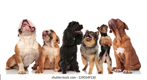 adorable team of six curious panting dogs looking up while standing and sitting on white background