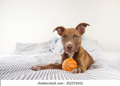 Adorable Terrier Mix Puppy Playing with Orange Basketball Toy