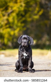 adorable three month old Cane Corso puppy
