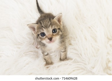 Baby cat images stock photos vectors shutterstock adorable three weeks old tabby baby cat looking up sitting on a white fur seen from thecheapjerseys Images