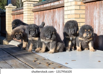 Adorable Tibetan Mastiff puppies outdoors. Horizontal photo
