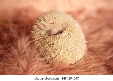 adorable tiny hedgehog laying down on its back while playfully hiding in its spikes with face partially exposed on pink soft studio background