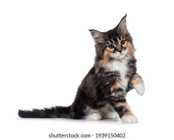 Adorable tortie Maine Coon cat kitten, sitting side ways. One paw playful in air. Isolated on white background.