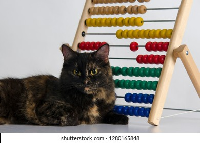 Adorable tortoiseshell colored cat in studio near abacus close up in studio  abacus against white background. Educational concept or pet training concepts.
