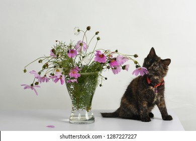 Adorable tortoiseshell colored kitten sits under the beautiful bouquet of colorful Cosmos/ Cosmos bipinnatus flowers in glass vase in studio against white background.