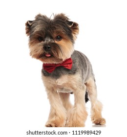 adorable toy yorkie wearing a red bowtie looks to side while standing on white background