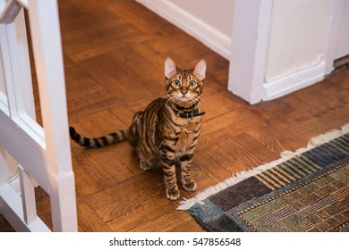 adorable toyger kitten looking up from living room floor - striped cat sitting by rug