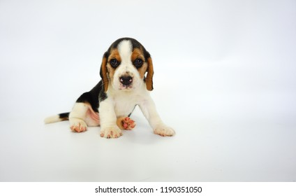 Adorable tri-color beagle puppy sit on white background. It has copy space for text and advertisement.