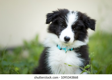 adorable two months old black and white border collie puppy
