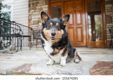Adorable Welsh Corgi smiles on front porch at home